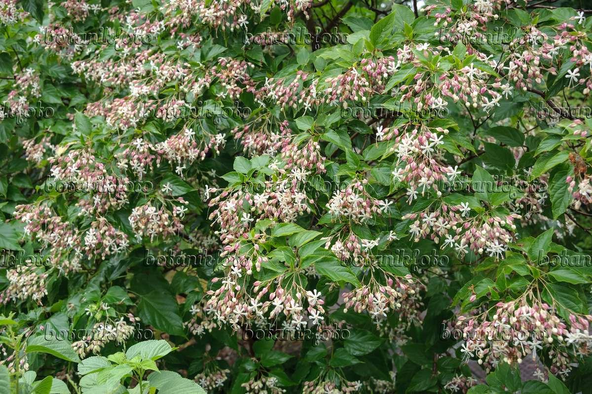 Bild Japanischer Losbaum Clerodendrum Trichotomum Syn Clerodendron
