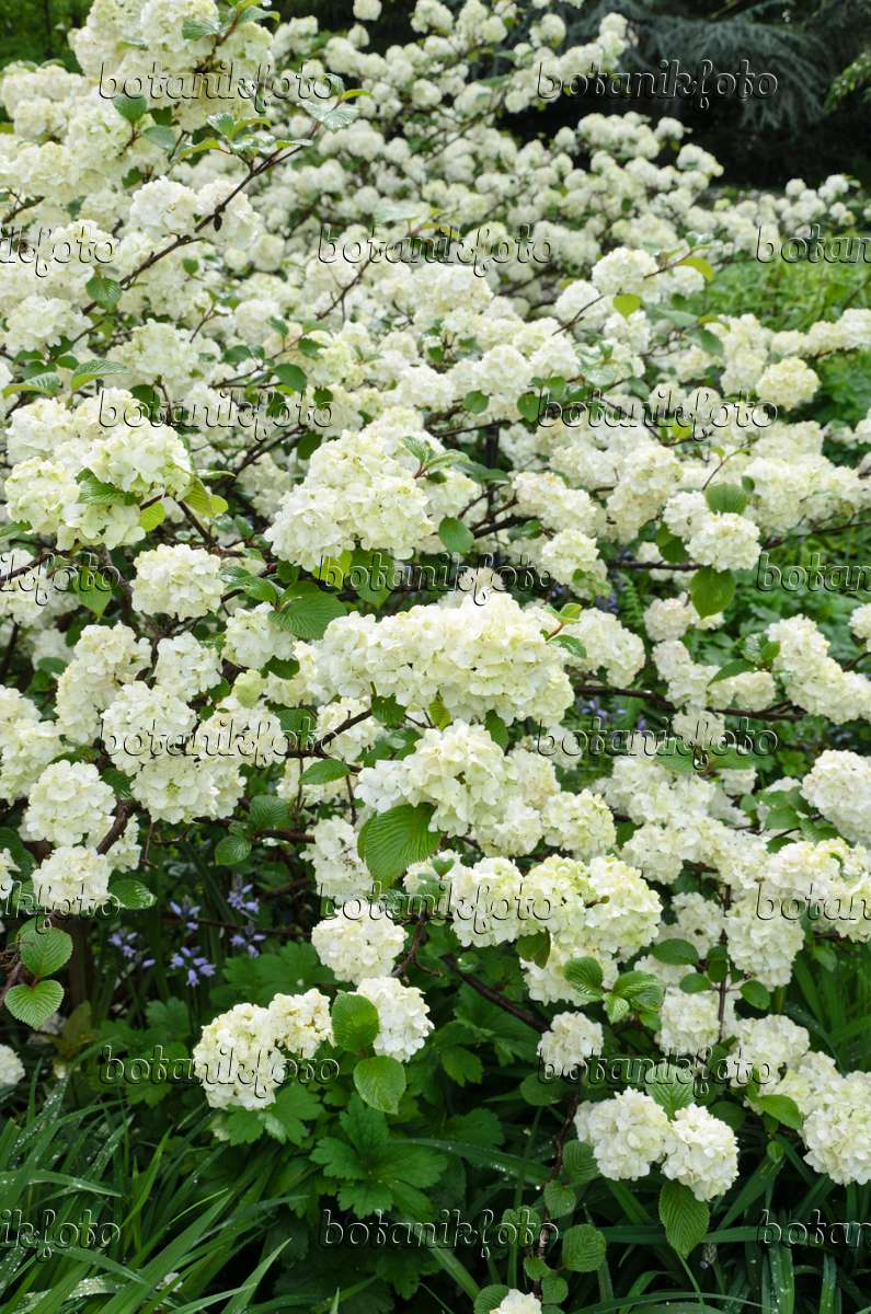 bild japanischer schneeball viburnum plicatum 39 rotundifolium 39 508074 bilder und videos von. Black Bedroom Furniture Sets. Home Design Ideas