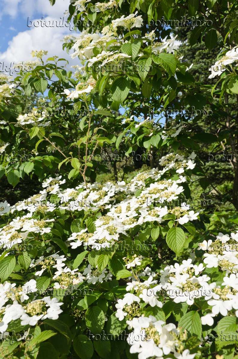 bild japanischer schneeball viburnum plicatum var tomentosum 39 summer snowflake 39 508203. Black Bedroom Furniture Sets. Home Design Ideas