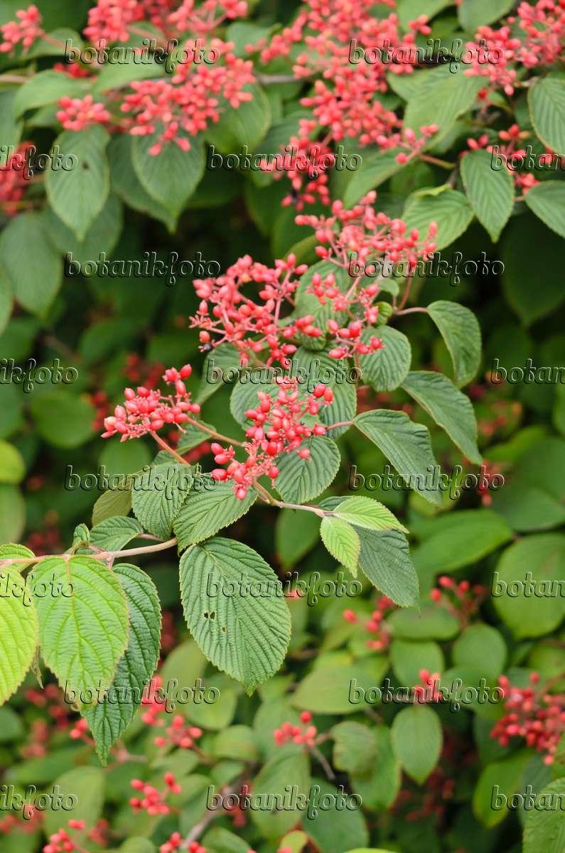 bild japanischer schneeball viburnum plicatum 39 summer snowflake 39 523133 bilder und videos. Black Bedroom Furniture Sets. Home Design Ideas