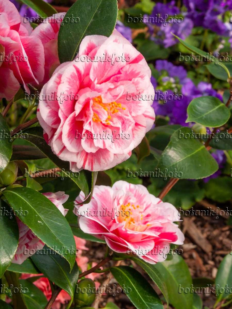 bild kamelie camellia japonica 39 contessa lavinia maggi 39 410003 bilder und videos von. Black Bedroom Furniture Sets. Home Design Ideas