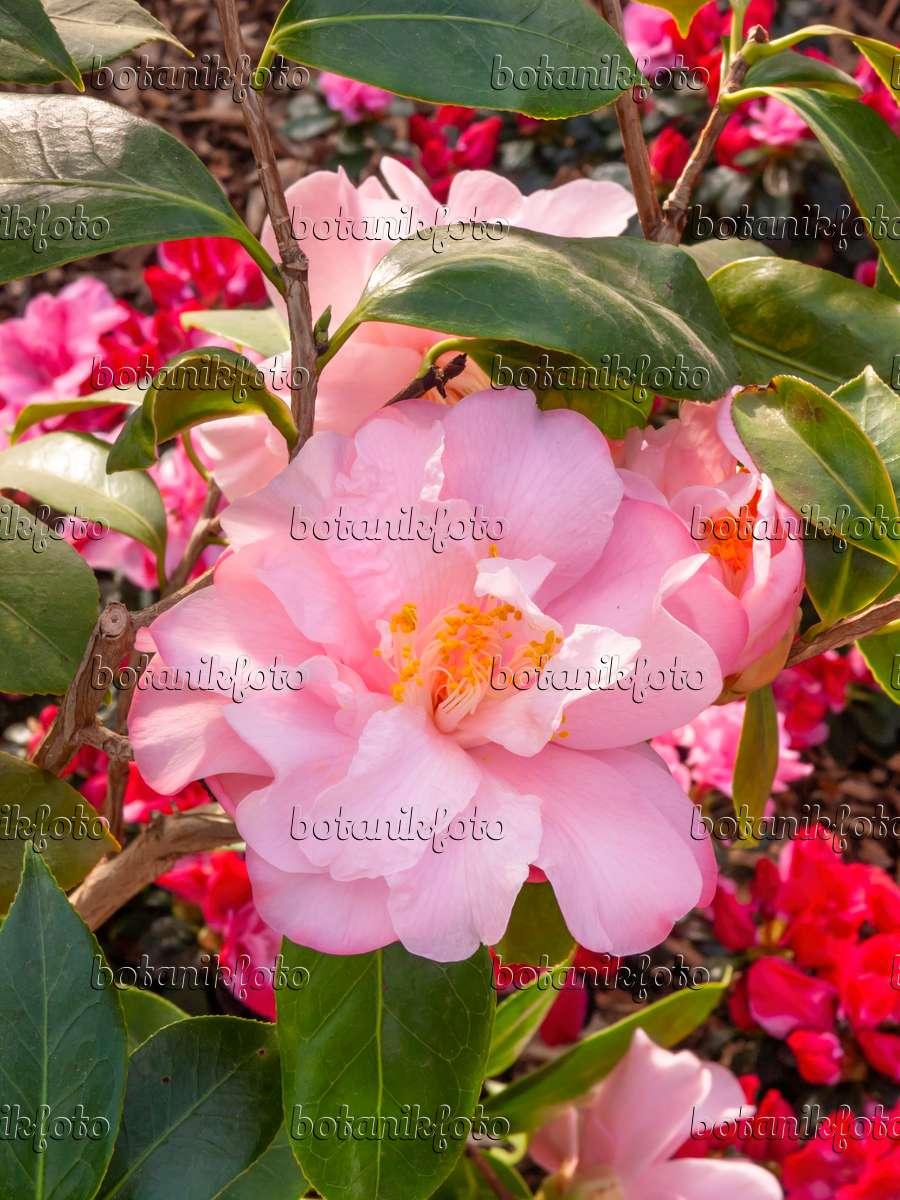bild kamelie camellia japonica 39 jutta 39 410001 bilder und videos von pflanzen und g rten. Black Bedroom Furniture Sets. Home Design Ideas