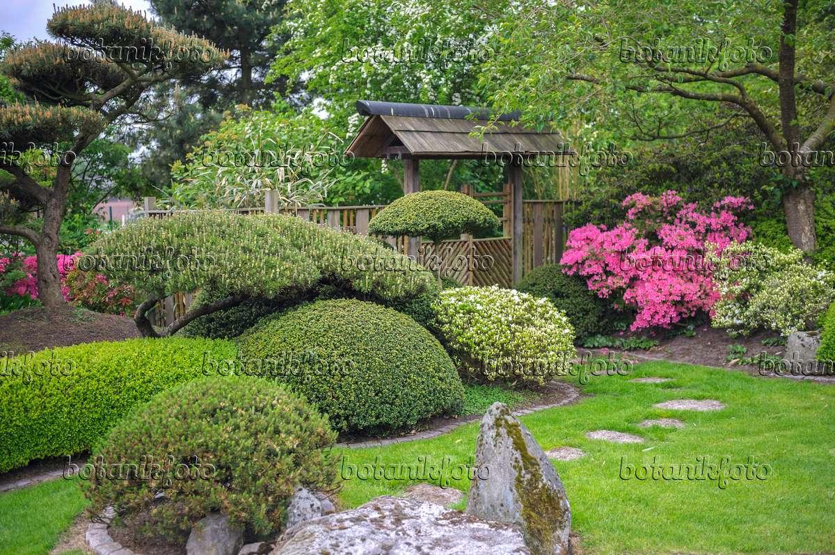 Bild kiefern pinus und rhododendren rhododendron in for Pflanzen japanischer garten