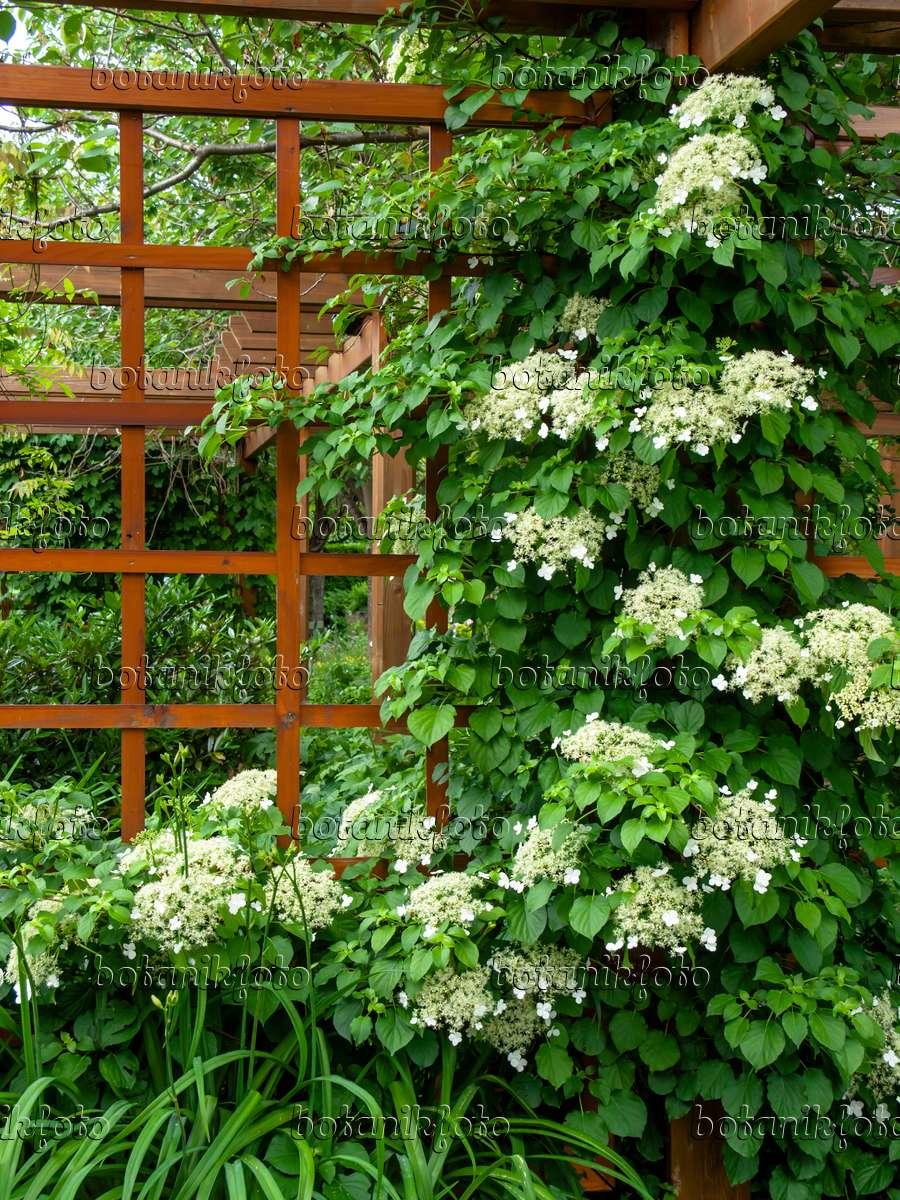 bild kletterhortensie hydrangea anomala 426166 bilder und videos von pflanzen und g rten. Black Bedroom Furniture Sets. Home Design Ideas