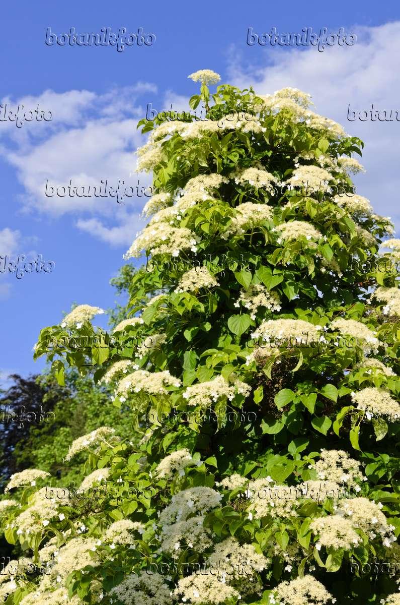 bild kletterhortensie hydrangea anomala 521042 bilder und videos von pflanzen und g rten. Black Bedroom Furniture Sets. Home Design Ideas