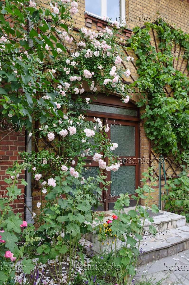 bild kletterrose rosa new dawn an einem hauseingang. Black Bedroom Furniture Sets. Home Design Ideas