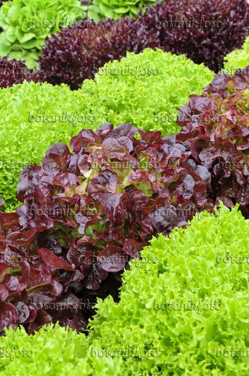 bilder premium collection nutzpflanzen 8 bilder und videos von pflanzen und g rten botanikfoto. Black Bedroom Furniture Sets. Home Design Ideas