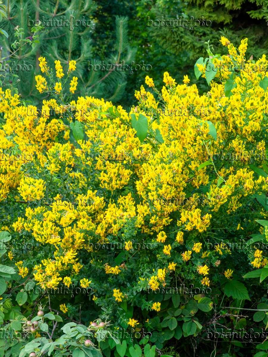 bild kopfzwergginster chamaecytisus supinus 449043 bilder und videos von pflanzen und. Black Bedroom Furniture Sets. Home Design Ideas