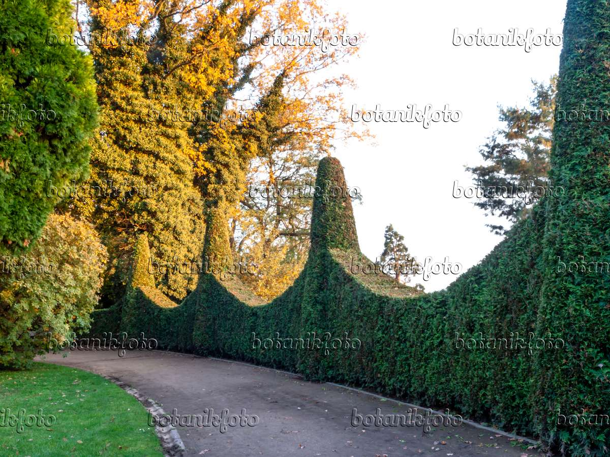 Bild Lebensbaum Thuja Römischer Garten Hamburg Deutschland