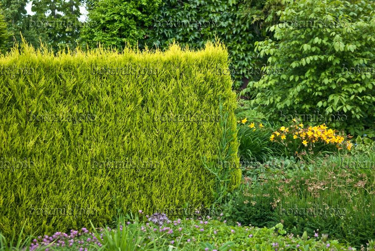 bild leyland zypresse cupressocyparis leylandii 39 castlewellan gold 39 517262 bilder und. Black Bedroom Furniture Sets. Home Design Ideas