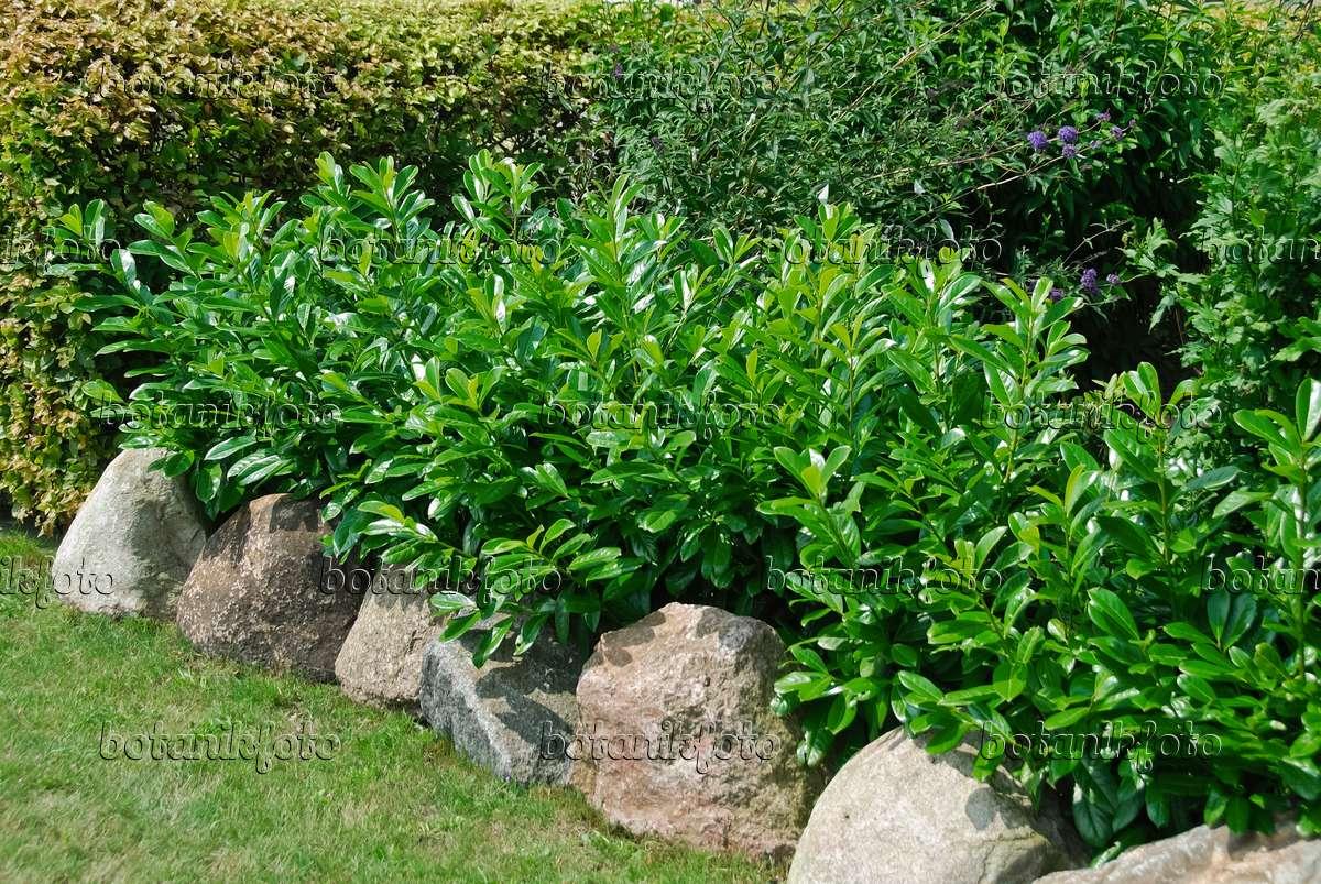 bild lorbeerkirsche prunus laurocerasus 39 caucasica 39 490114 bilder und videos von pflanzen. Black Bedroom Furniture Sets. Home Design Ideas