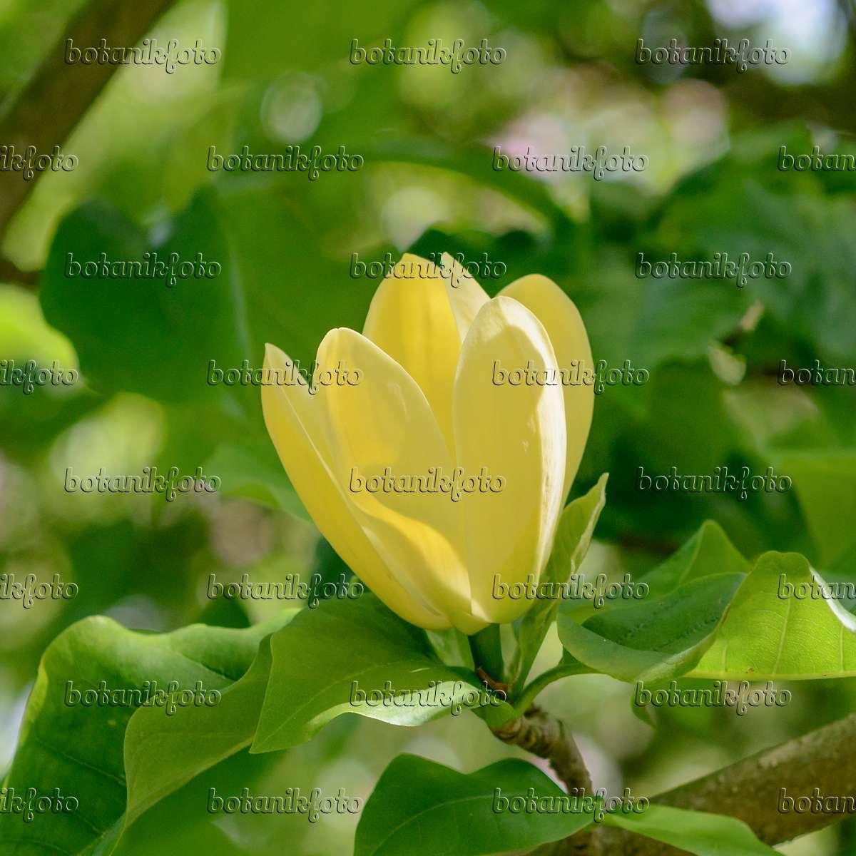 bild magnolie magnolia x brooklynensis 39 yellow bird. Black Bedroom Furniture Sets. Home Design Ideas