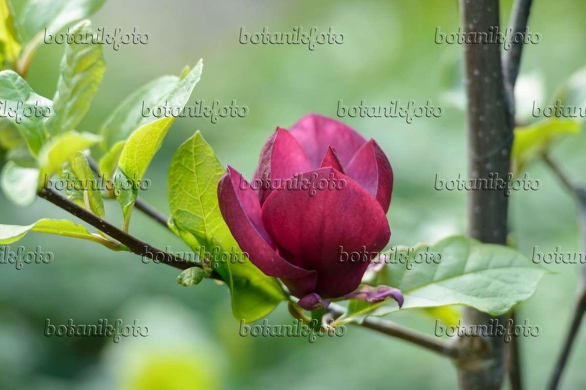 bild magnolie magnolia genie 535290 bilder und videos von pflanzen und g rten botanikfoto. Black Bedroom Furniture Sets. Home Design Ideas