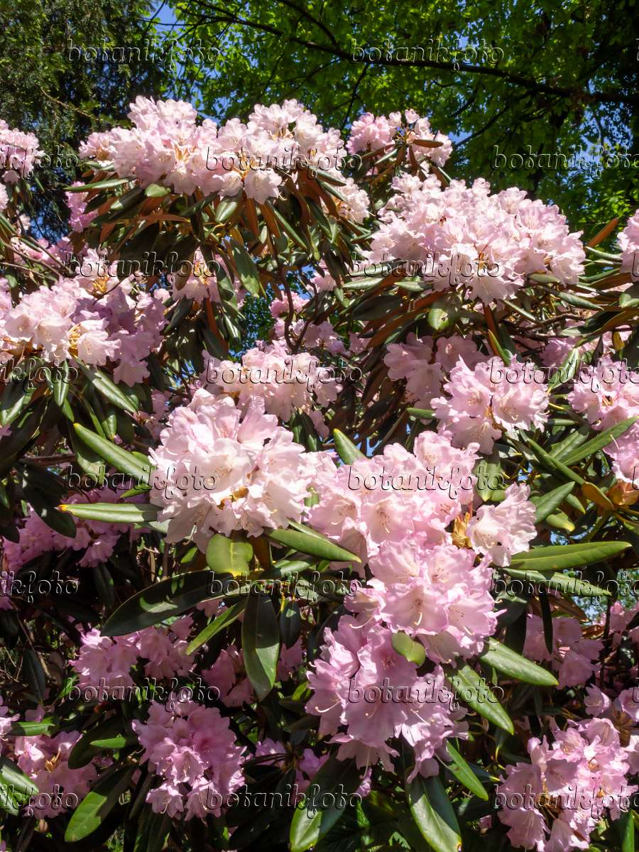 bild metternichs rhododendron rhododendron degronianum. Black Bedroom Furniture Sets. Home Design Ideas