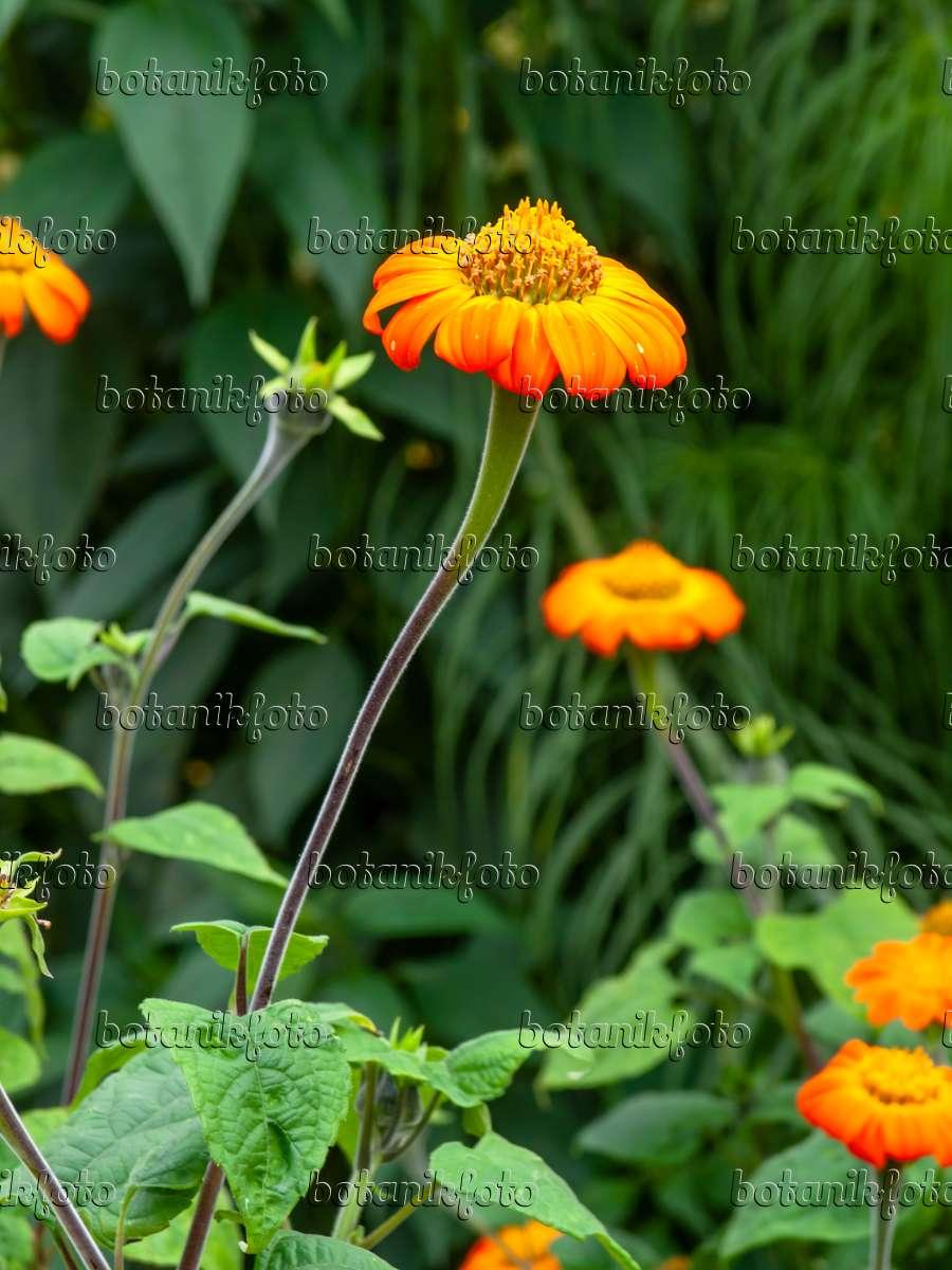 bilder mexikanische sonnenblume bilder und videos von pflanzen und g rten botanikfoto. Black Bedroom Furniture Sets. Home Design Ideas