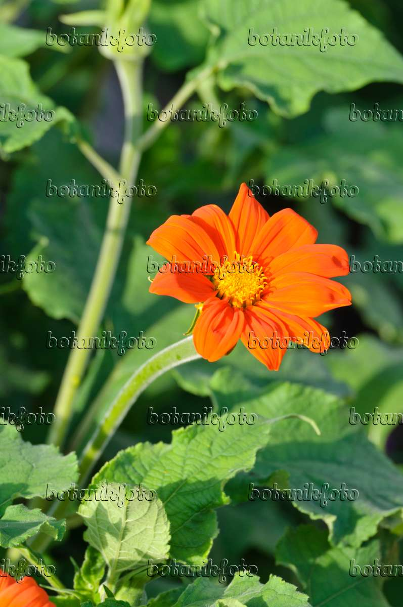 bild mexikanische sonnenblume tithonia rotundifolia 474408 bilder und videos von pflanzen. Black Bedroom Furniture Sets. Home Design Ideas