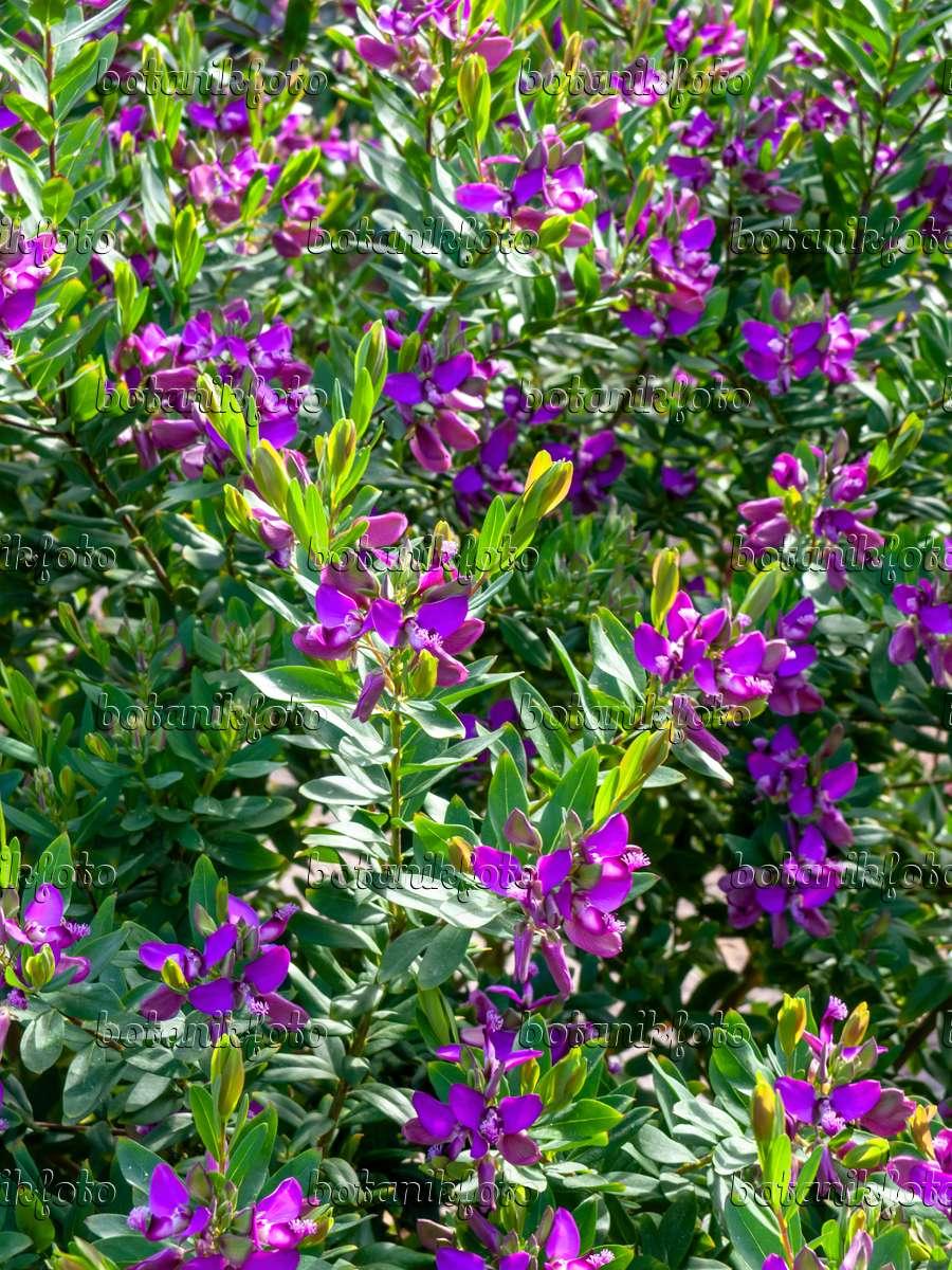 bild myrtenbl ttrige kreuzblume polygala myrtifolia 424016 bilder und videos von pflanzen. Black Bedroom Furniture Sets. Home Design Ideas