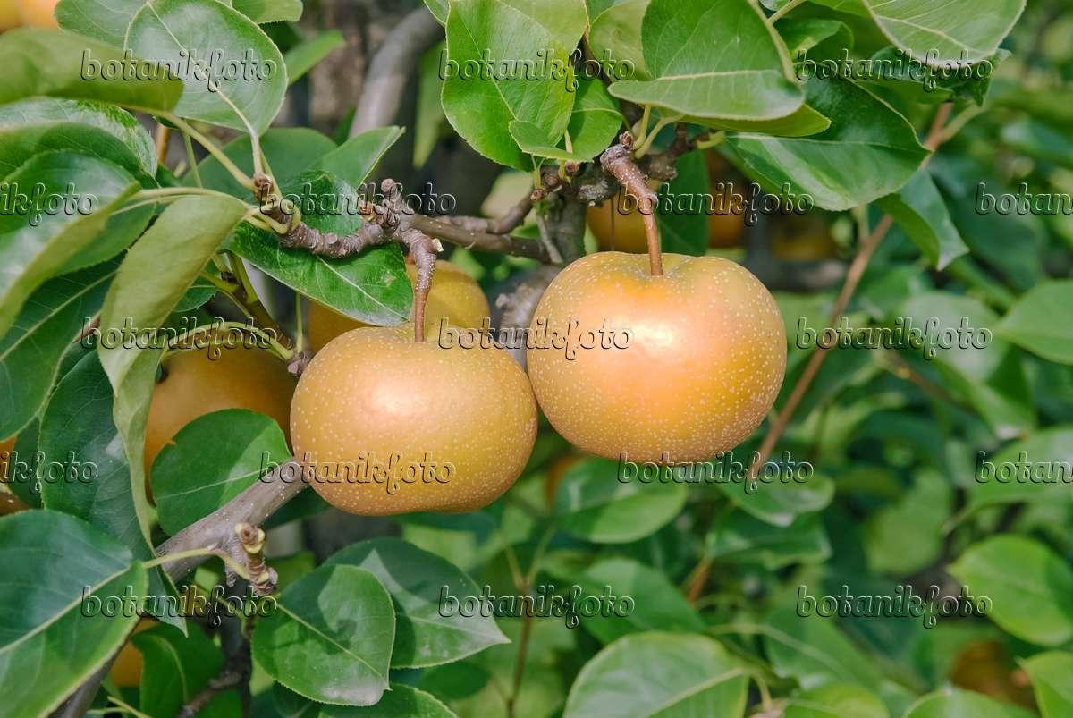 bild nashi birne pyrus pyrifolia 39 kil tu pear 39 490119. Black Bedroom Furniture Sets. Home Design Ideas