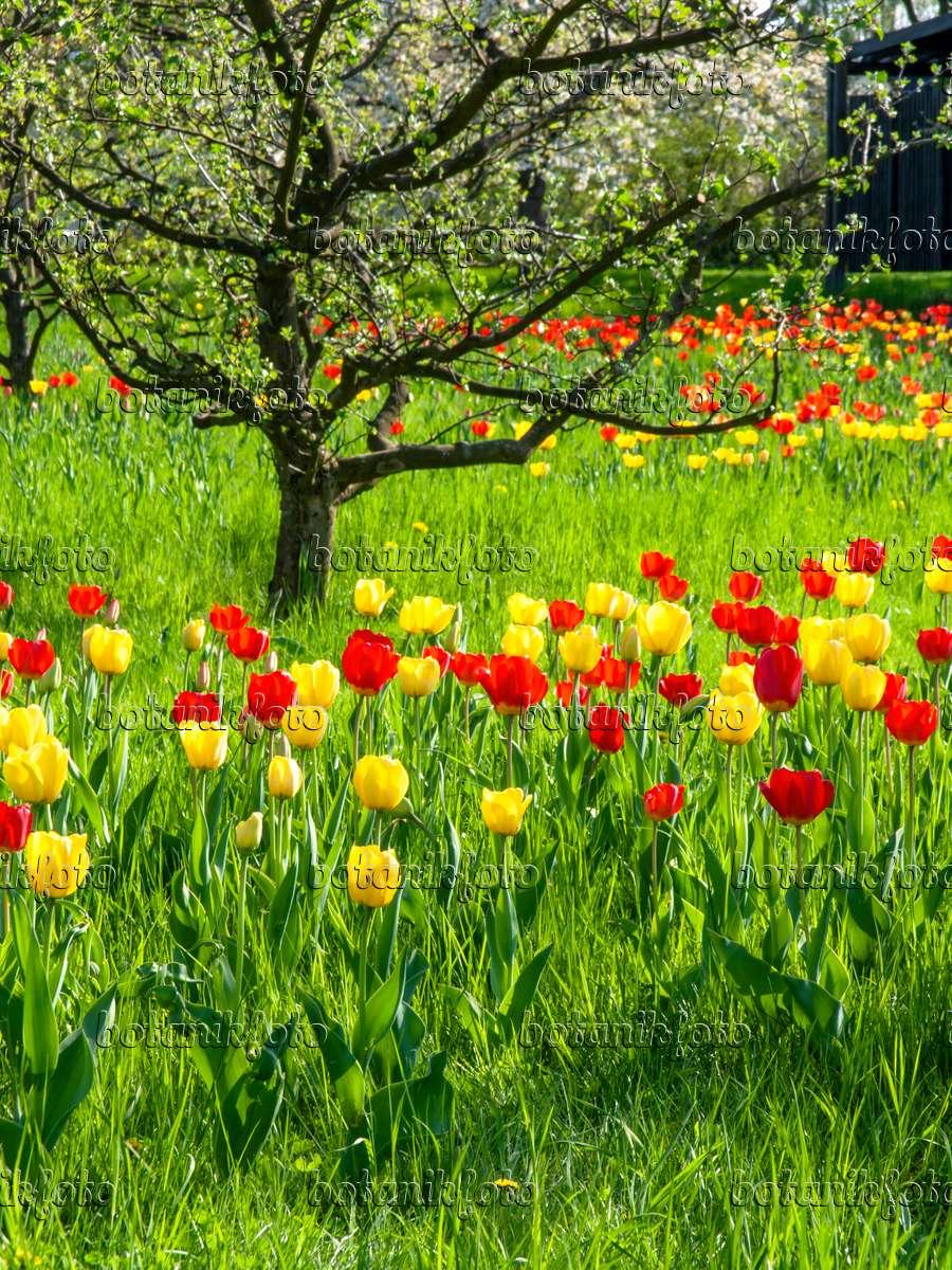 bild obstwiese mit tulpen 437137 bilder und videos von pflanzen und g rten botanikfoto. Black Bedroom Furniture Sets. Home Design Ideas