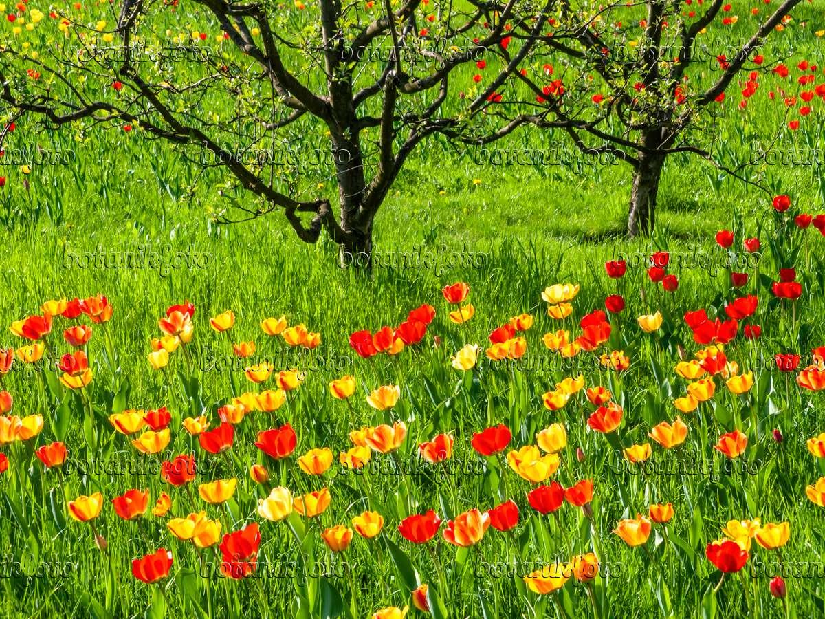 bild obstwiese mit tulpen 437138 bilder und videos von pflanzen und g rten botanikfoto. Black Bedroom Furniture Sets. Home Design Ideas