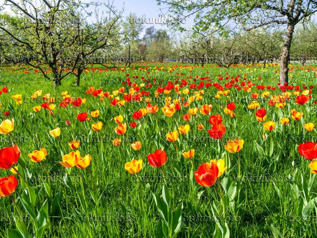 bild obstwiese mit tulpen 437139 bilder und videos von pflanzen und g rten botanikfoto. Black Bedroom Furniture Sets. Home Design Ideas
