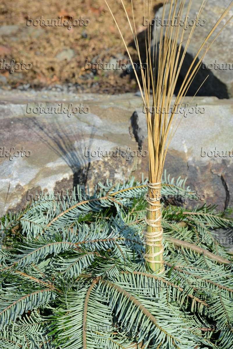 bild pampasgras cortaderia selloana mit winterschutz 529227 bilder und videos von pflanzen. Black Bedroom Furniture Sets. Home Design Ideas