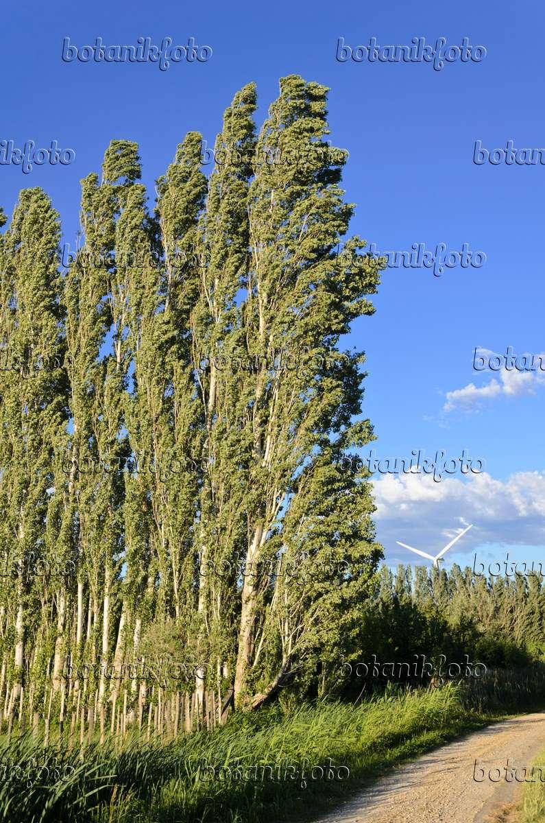 bild pappeln populus als windschutz camargue frankreich 557109 bilder und videos von. Black Bedroom Furniture Sets. Home Design Ideas