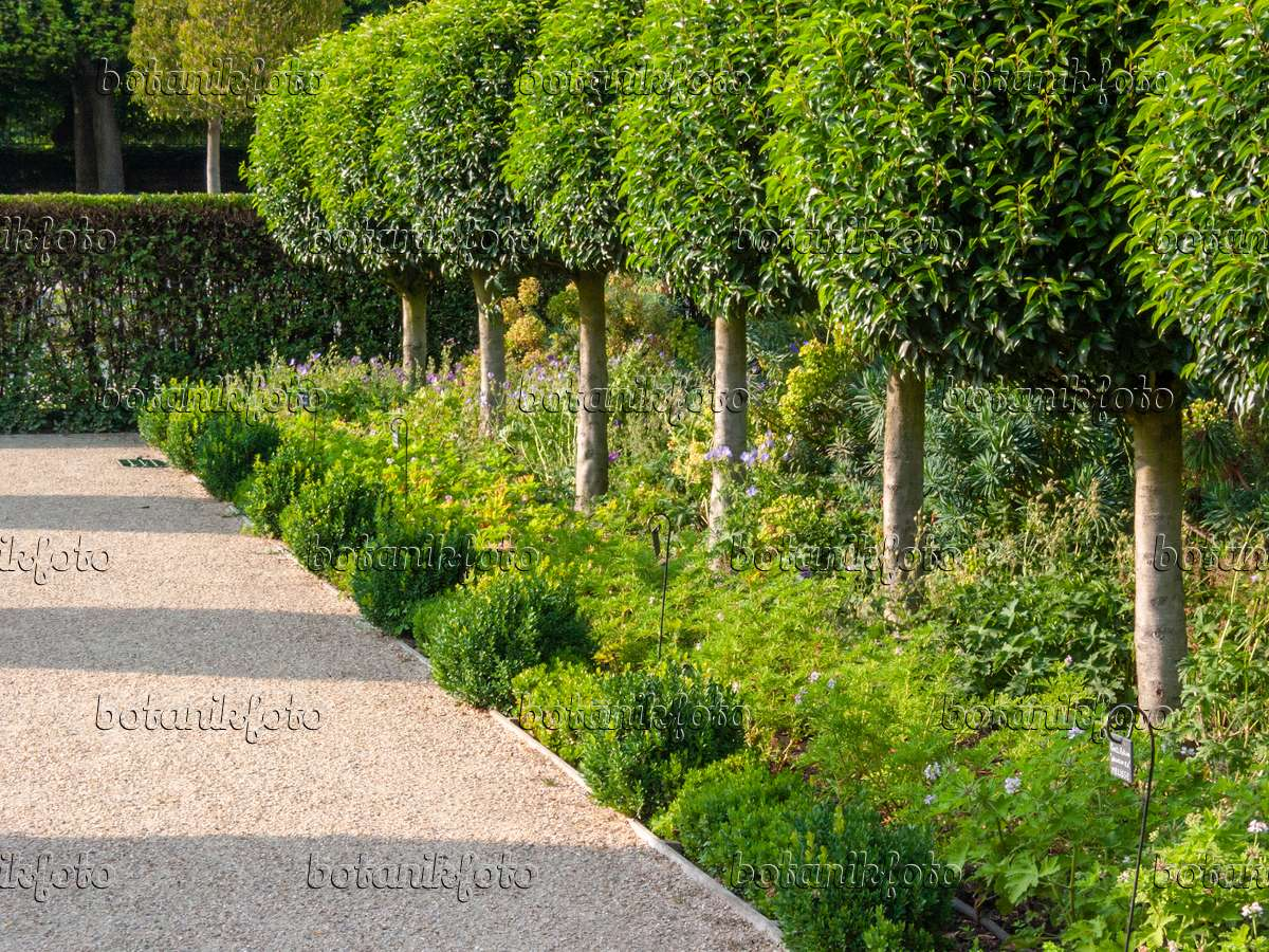 Bild portugiesische lorbeerkirsche prunus lusitanica for Pflanzen evergreen