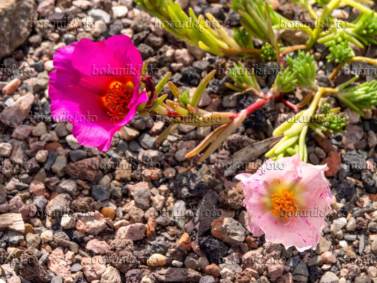 bild portulak portulaca grandiflora 426192 bilder und videos von pflanzen und g rten. Black Bedroom Furniture Sets. Home Design Ideas