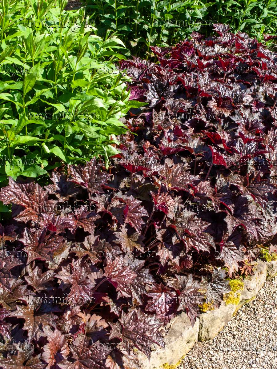 bild purpurgl ckchen heuchera micrantha 39 molly bush. Black Bedroom Furniture Sets. Home Design Ideas