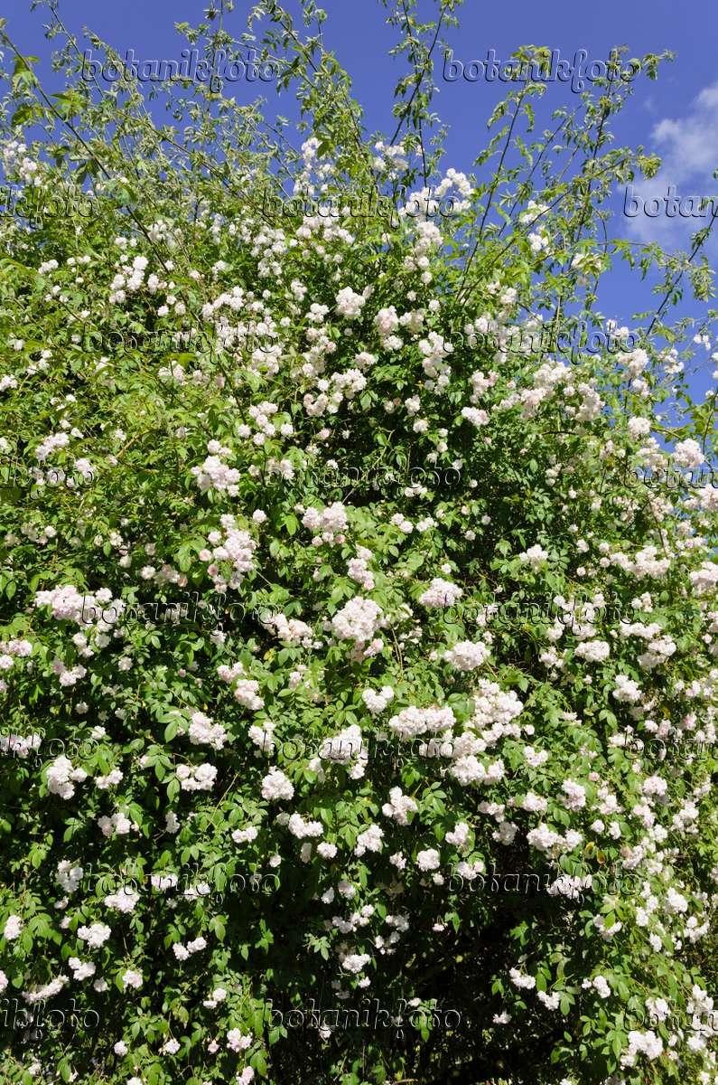 bild ramblerrose rosa paul 39 s himalayan musk 521279 bilder und videos von pflanzen und. Black Bedroom Furniture Sets. Home Design Ideas