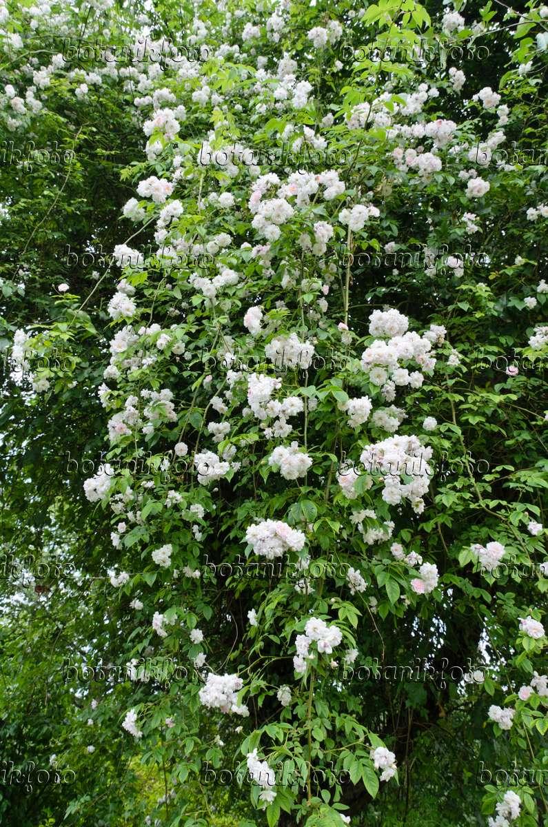 bild ramblerrose rosa paul 39 s himalayan musk in einem apfelbaum 497156 bilder und videos. Black Bedroom Furniture Sets. Home Design Ideas