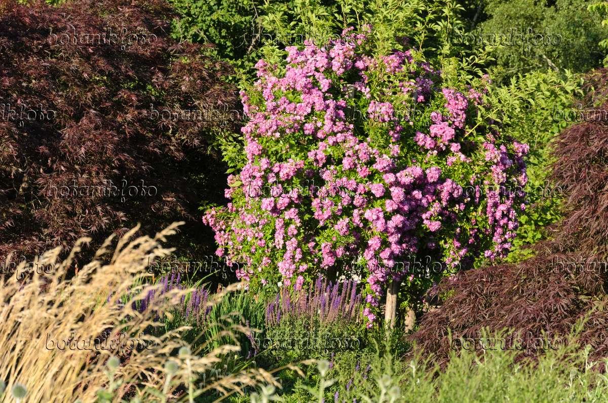 bild ramblerrose rosa veilchenblau 534025 bilder und. Black Bedroom Furniture Sets. Home Design Ideas