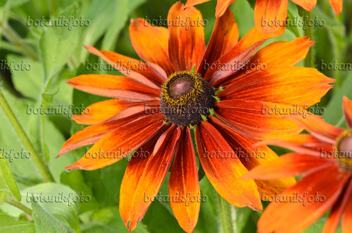 bild rauer sonnenhut rudbeckia hirta 39 cappuccino. Black Bedroom Furniture Sets. Home Design Ideas