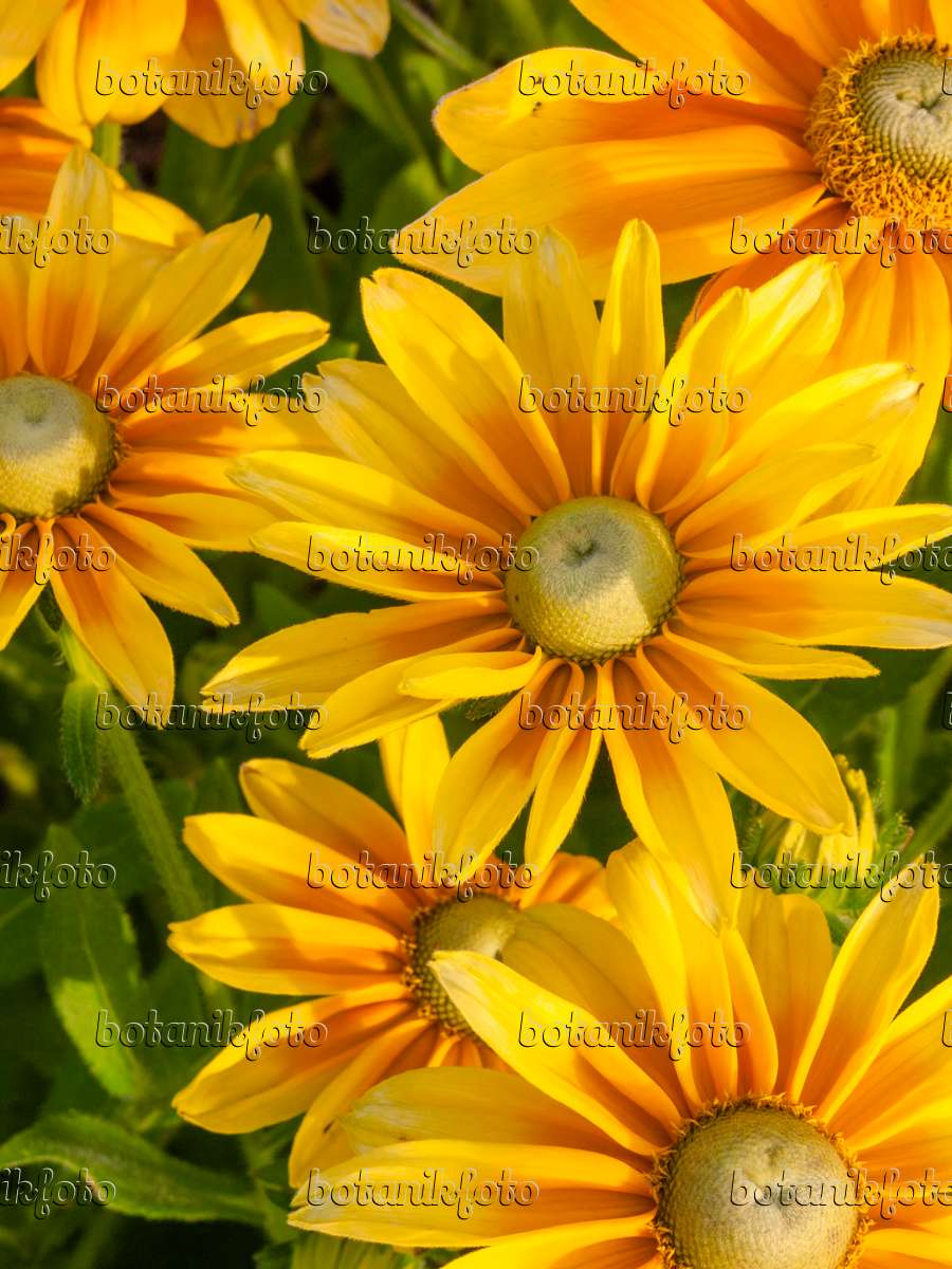 bild rauer sonnenhut rudbeckia hirta 39 prairie sun. Black Bedroom Furniture Sets. Home Design Ideas