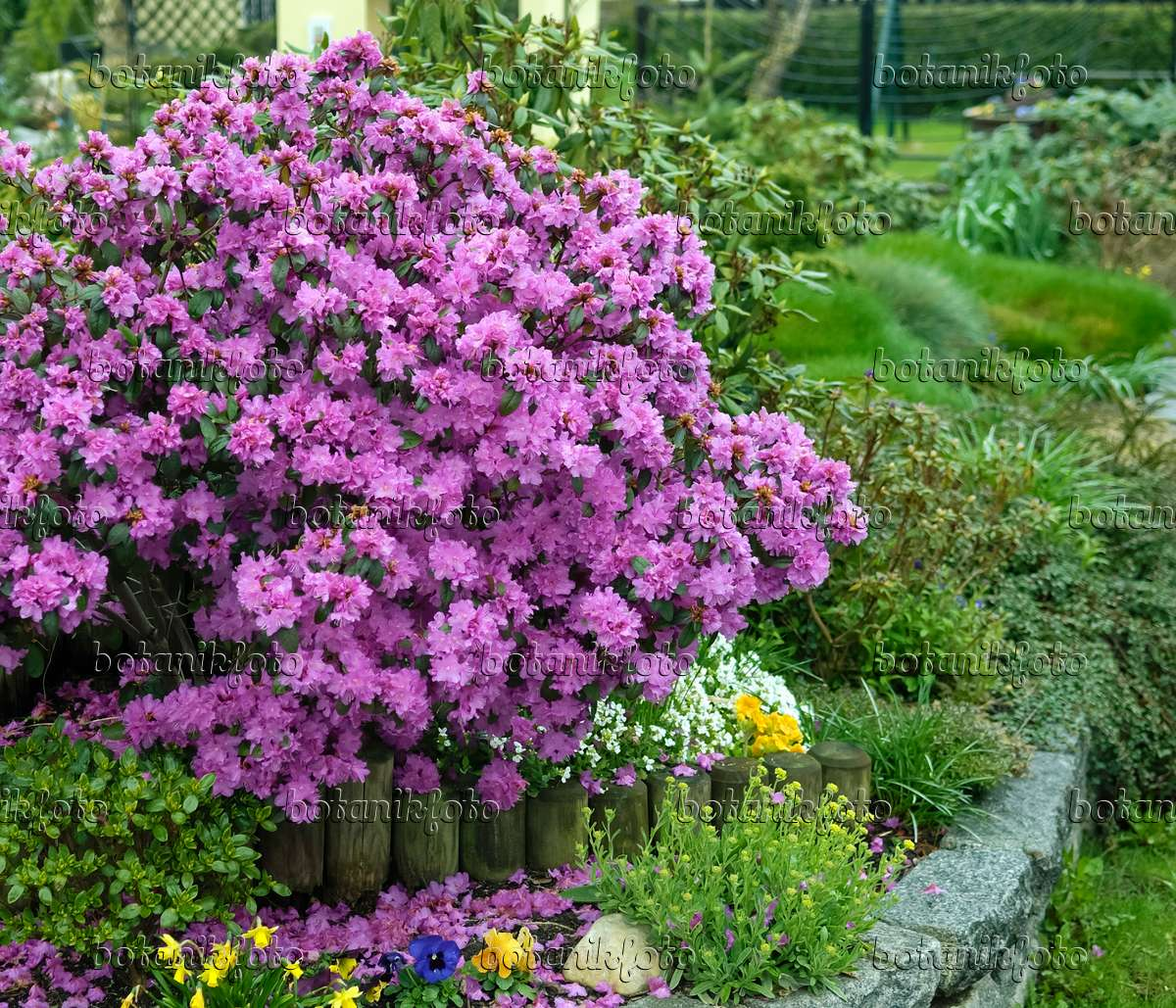 bild rhododendron rhododendron carolinianum 39 p j mezitt. Black Bedroom Furniture Sets. Home Design Ideas