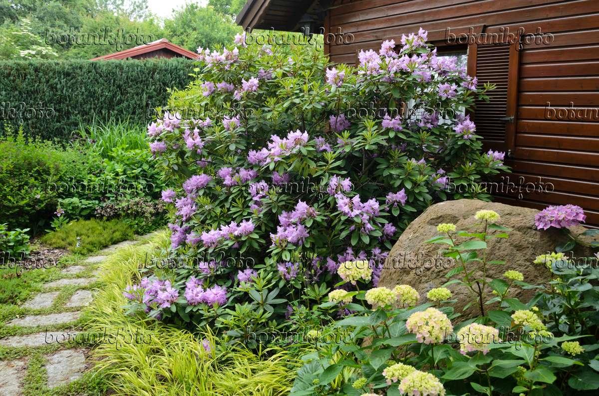 Bild rhododendron rhododendron und hortensie hydrangea for Gartengestaltung rhododendron