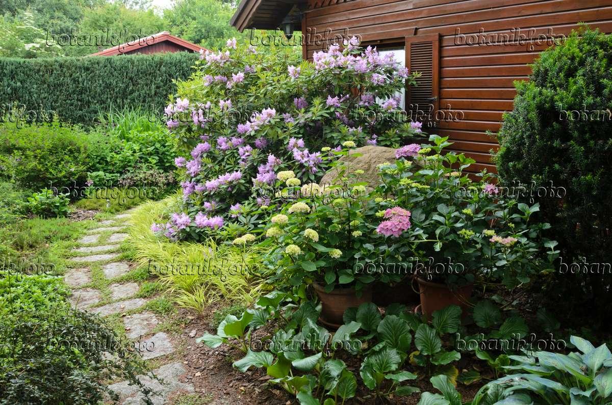 bild rhododendron rhododendron und hortensie hydrangea. Black Bedroom Furniture Sets. Home Design Ideas