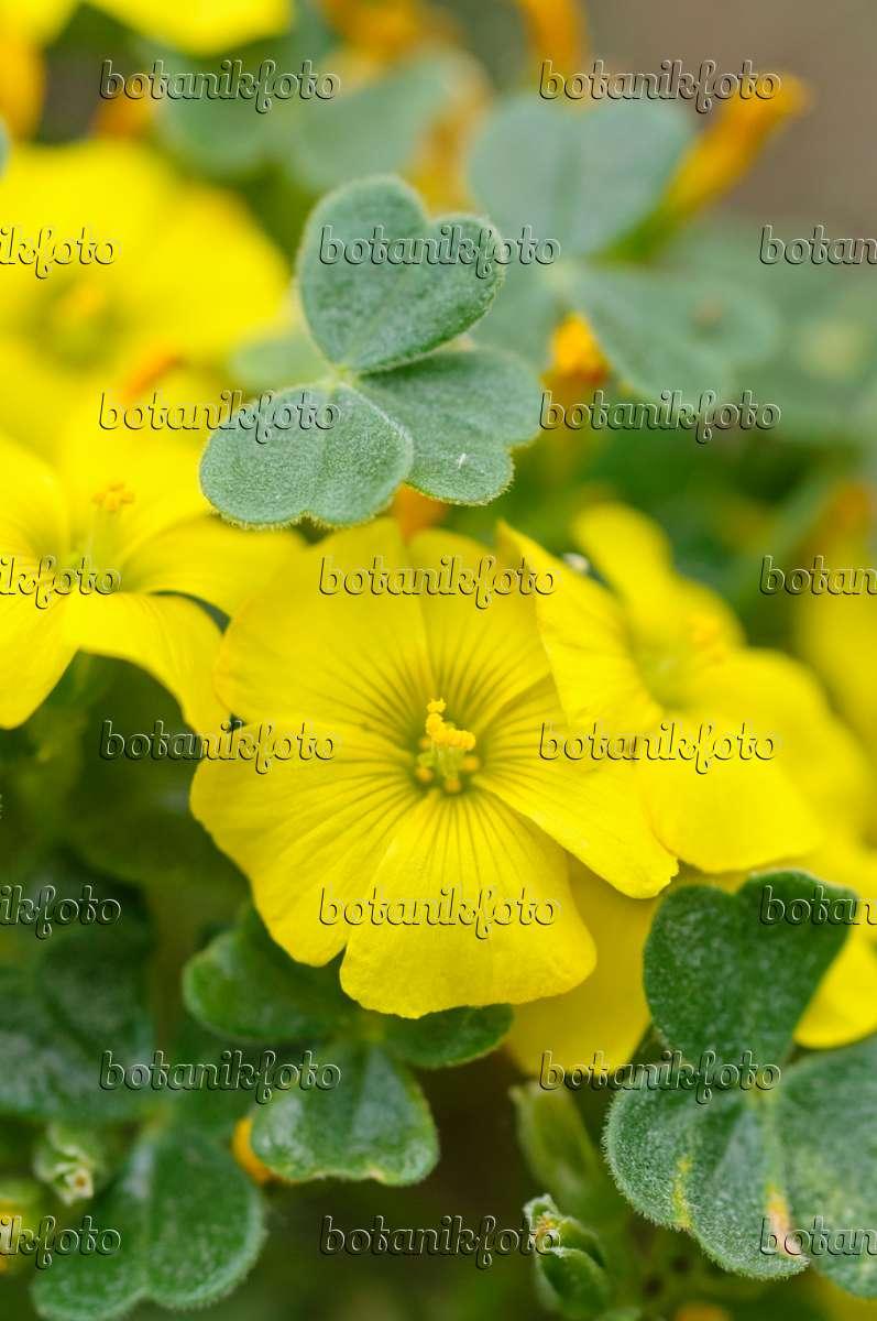Bilder Oxalis Bilder Und Videos Von Pflanzen Und G 228 Rten