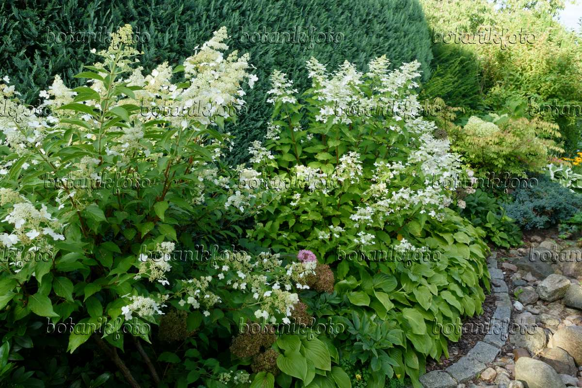 bild rispenhortensie hydrangea paniculata und funkien. Black Bedroom Furniture Sets. Home Design Ideas