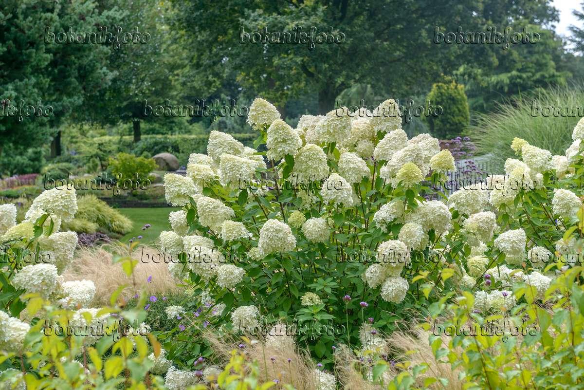 bild rispenhortensie hydrangea paniculata 39 limelight. Black Bedroom Furniture Sets. Home Design Ideas