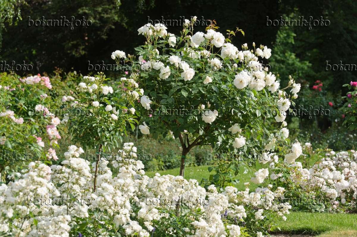 bild rosengarten mit wei en rosen 485116 bilder und videos von pflanzen und g rten botanikfoto. Black Bedroom Furniture Sets. Home Design Ideas
