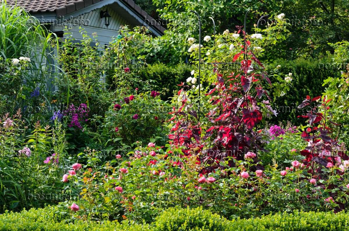 bilder rote gartenmelde bilder und videos von pflanzen und g rten botanikfoto. Black Bedroom Furniture Sets. Home Design Ideas