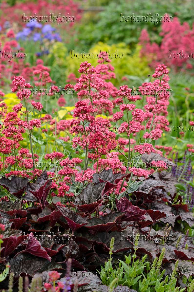 bild rote spornblume centranthus ruber 39 coccineus 39 und purpurgl ckchen heuchera micrantha. Black Bedroom Furniture Sets. Home Design Ideas