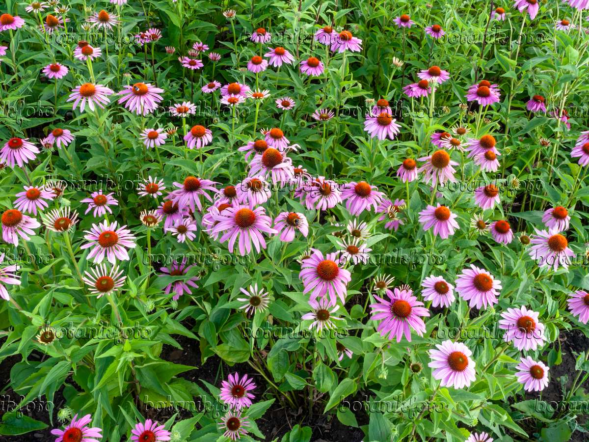 bild sonnenhut echinacea purpurea 427119 bilder und videos von pflanzen und g rten. Black Bedroom Furniture Sets. Home Design Ideas