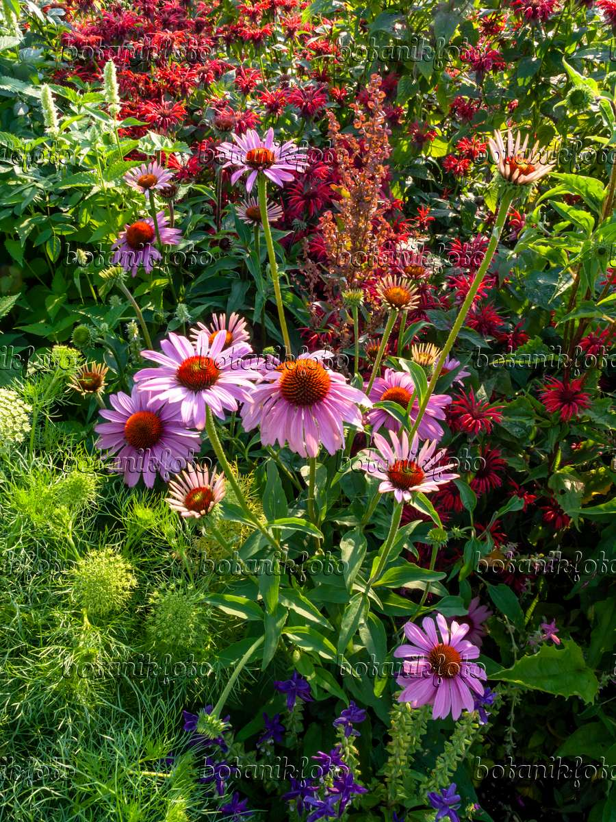 bild sonnenhut echinacea purpurea 427120 bilder und. Black Bedroom Furniture Sets. Home Design Ideas
