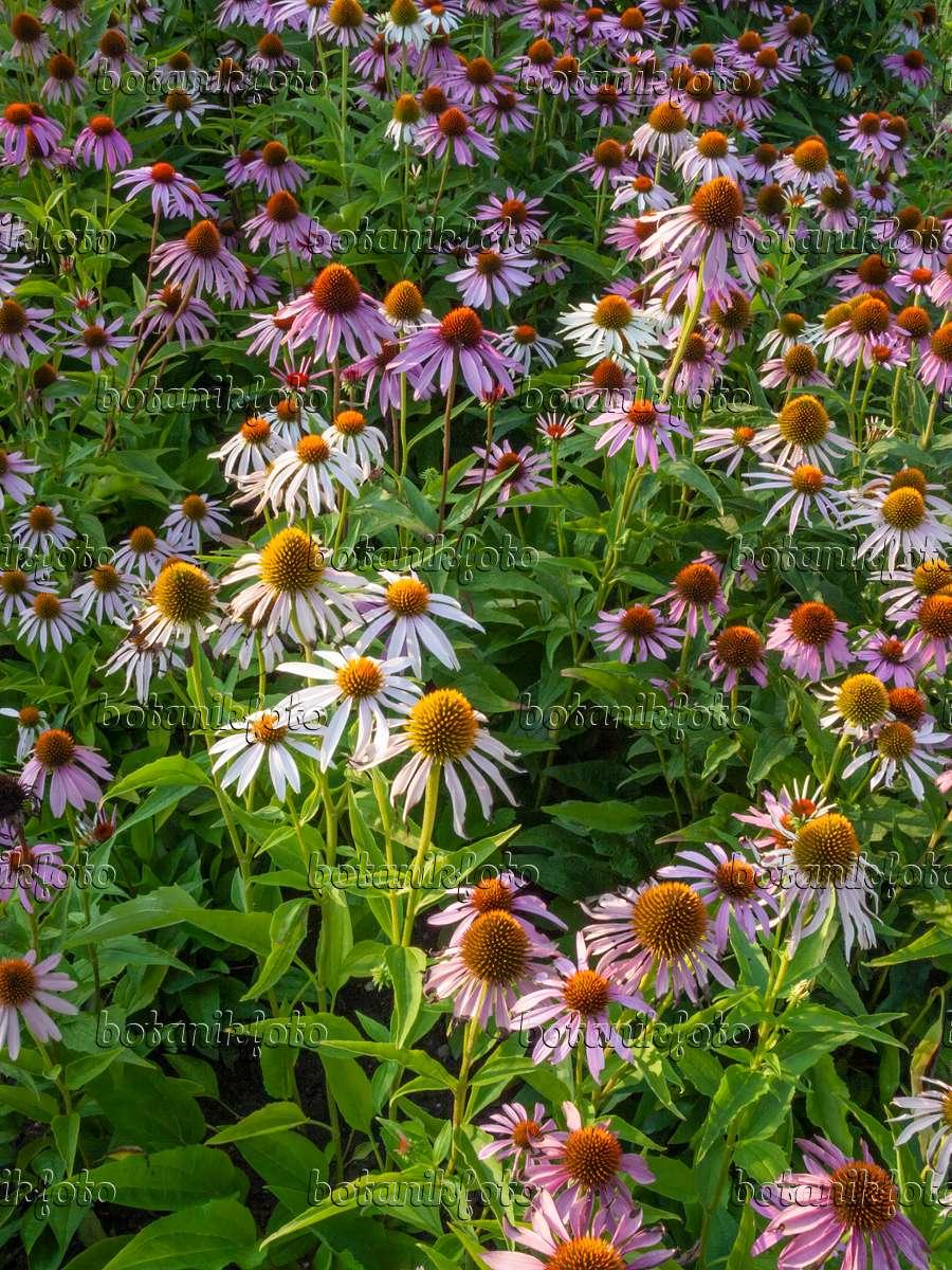 bilder echinacea purpurea 3 bilder und videos von pflanzen und g rten botanikfoto. Black Bedroom Furniture Sets. Home Design Ideas