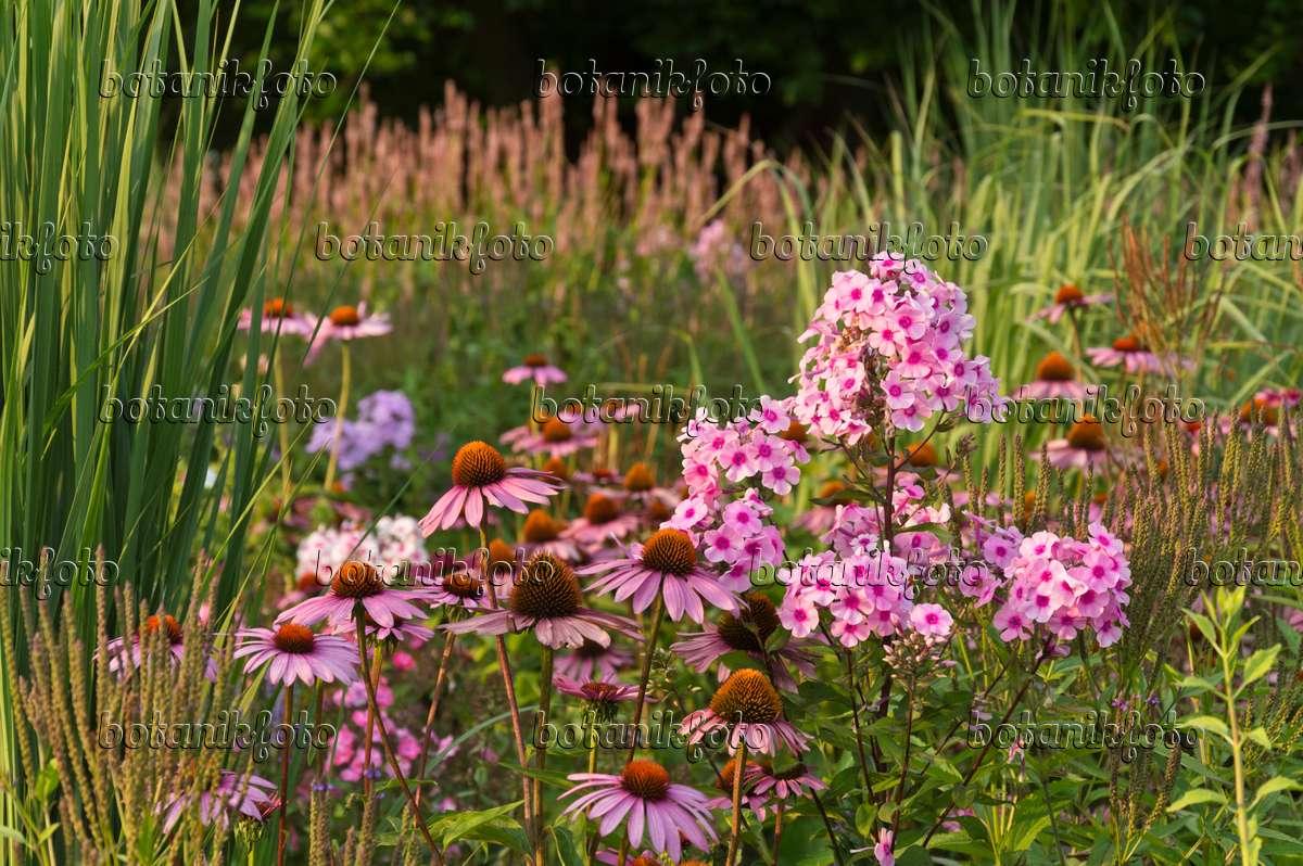 bild sonnenhut echinacea purpurea 39 rubinstern 39 und staudenphlox phlox paniculata 511011. Black Bedroom Furniture Sets. Home Design Ideas