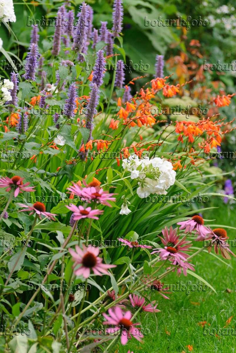 bild sonnenhut echinacea purpurea staudenphlox phlox paniculata anis riesenysop agastache. Black Bedroom Furniture Sets. Home Design Ideas