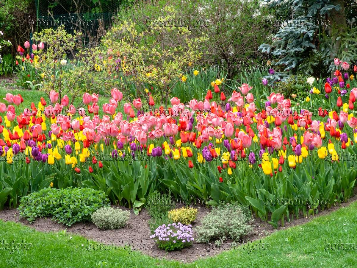bild staudenbeet mit tulpen tulipa 484064 bilder und. Black Bedroom Furniture Sets. Home Design Ideas